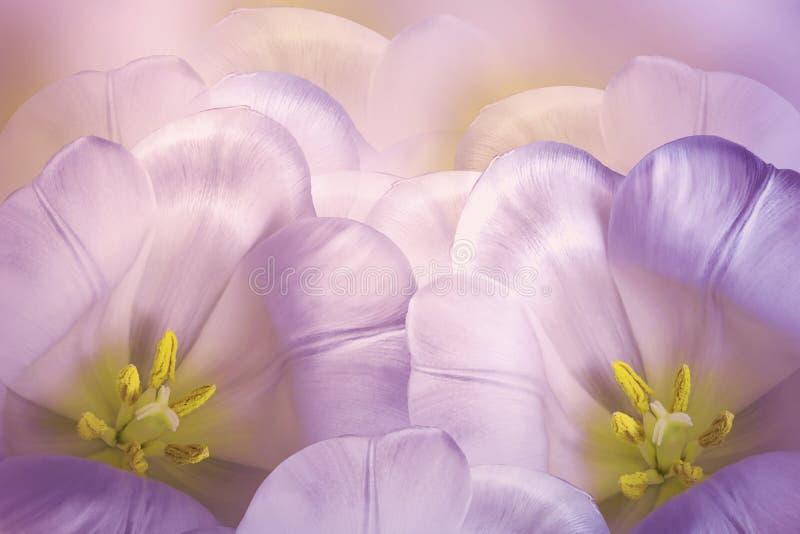 花卉春天з桃红色紫罗兰色背景 花桃红色郁金香开花 特写镜头 2007个看板卡招呼的新年好 免版税库存照片