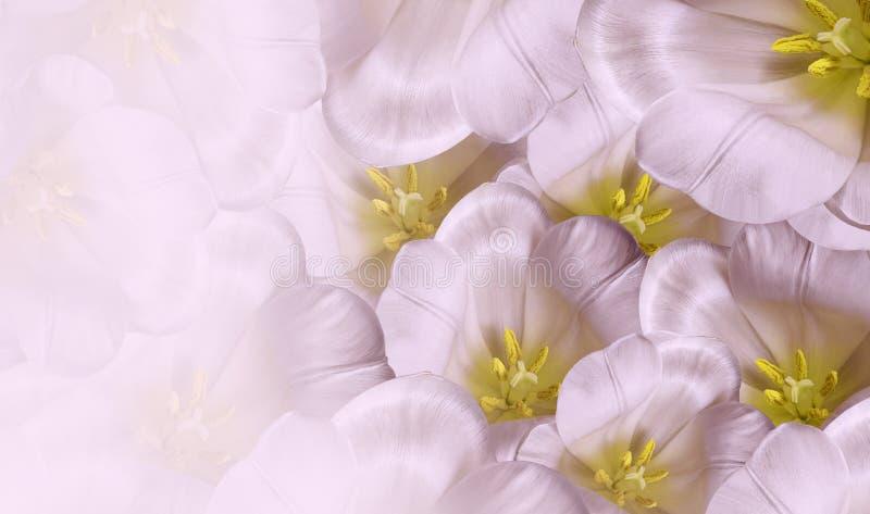 花卉春天白桃红色背景 开花白色郁金香开花 特写镜头 2007个看板卡招呼的新年好 库存图片