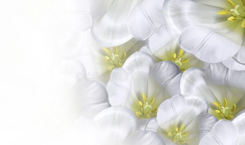 花卉春天白黄色背景 开花白色郁金香开花 特写镜头 2007个看板卡招呼的新年好 安置文本 图库摄影