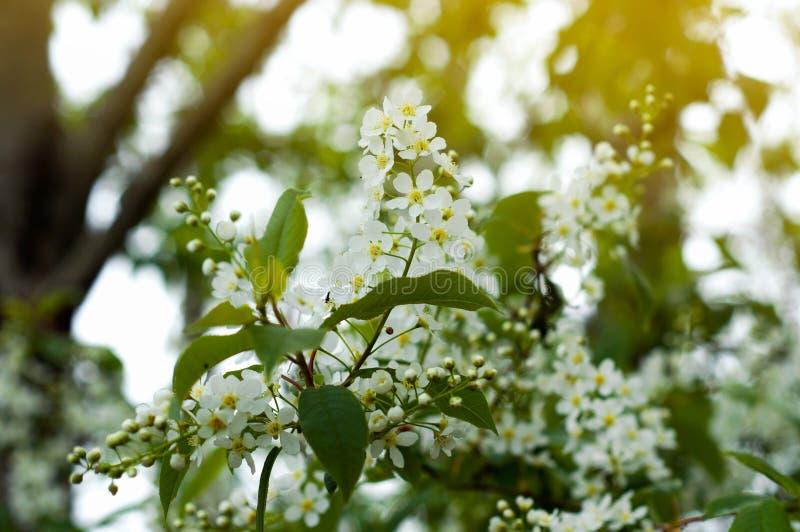 花卉春天背景,软的焦点 开花的灌木分支在春天户外宏观在葡萄酒浅兰的淡色 库存照片