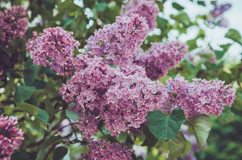 花卉春天紫色淡紫色花在阳光背景中 夏天公园室外抽象自然 绽放宏观桃红色花 免版税库存照片