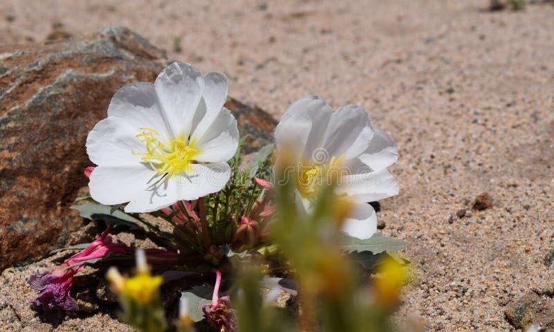 花卉沙漠 库存图片