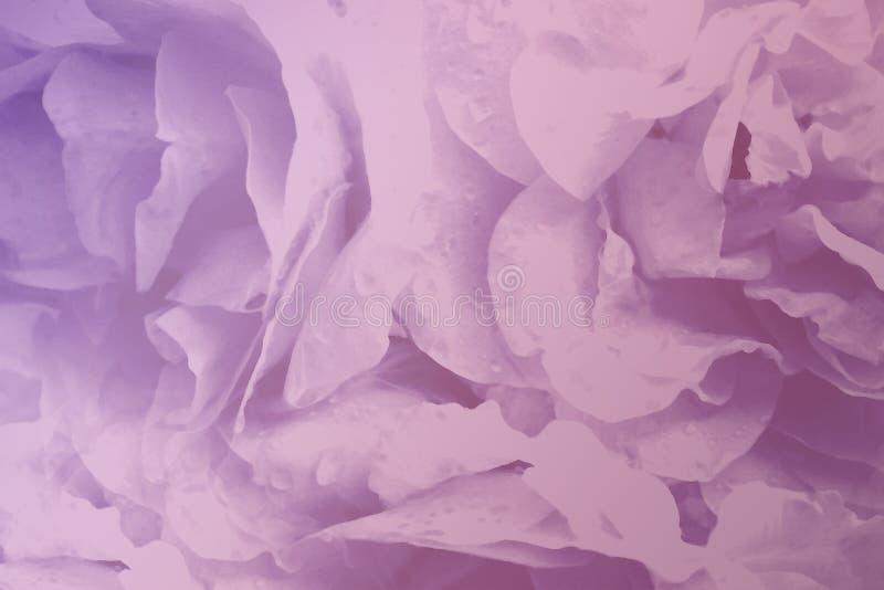 花卉浅粉红色的美丽的背景玫瑰 开花瓣桃红色紫罗兰色玫瑰特写镜头 皇族释放例证