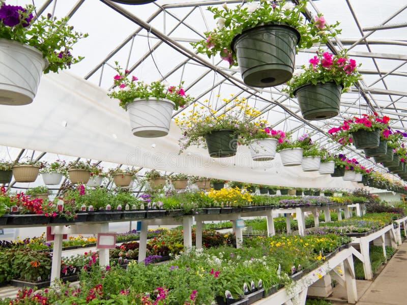 花卉生长在园艺中心箔温室里  免版税库存图片