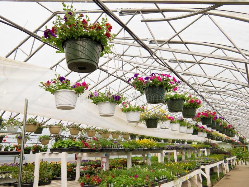 花卉生长在园艺中心箔温室里  免版税库存照片