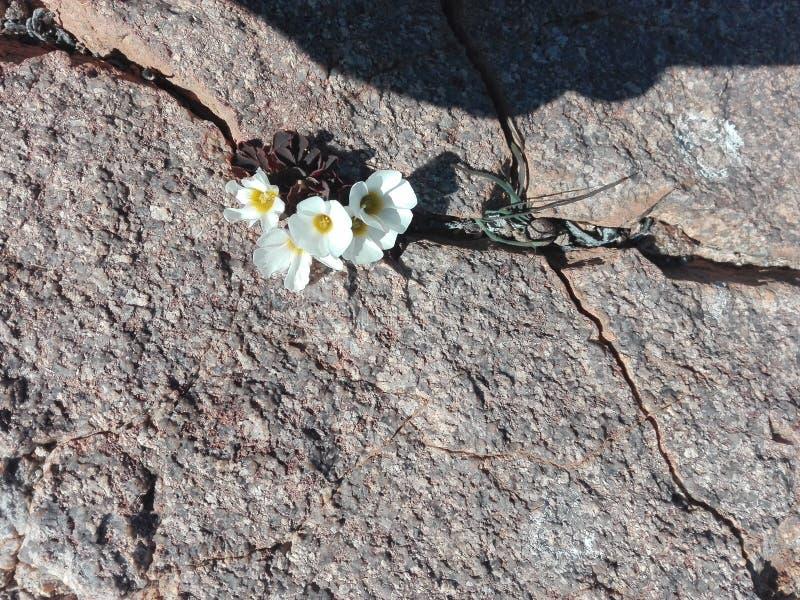 花卉生长在岩石 免版税库存照片