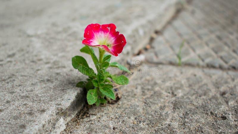 花卉生长在混凝土外面 免版税图库摄影