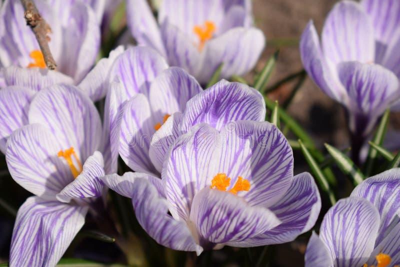 花卉生长番红花在一个公园在一个晴朗的春日 库存图片
