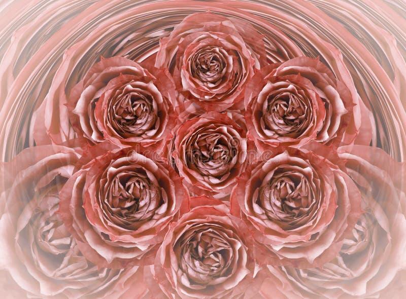 花卉白红色背景 开花英国兰开斯特家族族徽特写镜头 开花构成 皇族释放例证