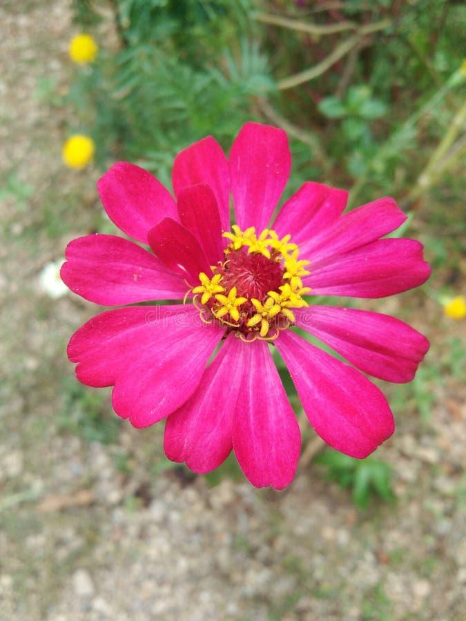 花卉花自然植物桃红色 免版税图库摄影