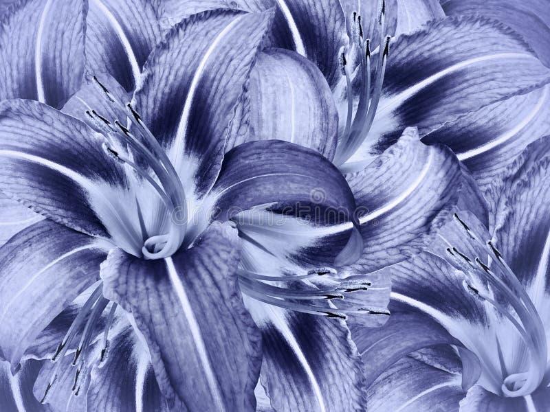 花卉蓝色背景 花浅兰的百合特写镜头 百合瓣 免版税库存照片