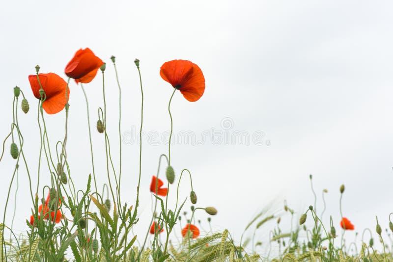 花卉设计,装饰花 在白色天空前面的美丽的红色鸦片 免版税库存照片