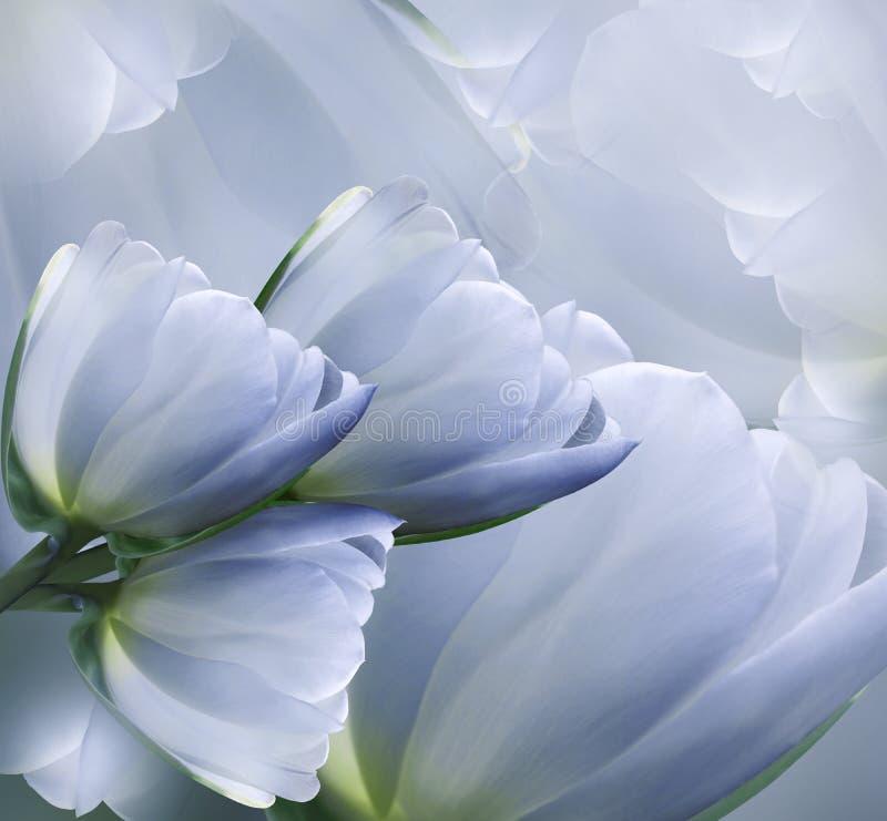 花卉青白的美好的背景 花春天结构的郁金香 免版税库存照片
