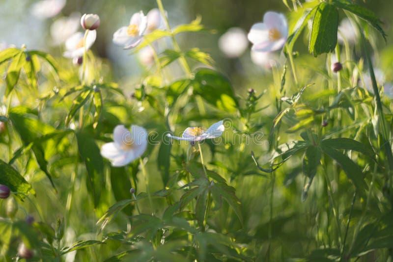 花卉领域 开花在春天或夏季的狂放的北银莲花属或白头翁属花在雅库特西伯利亚 免版税图库摄影