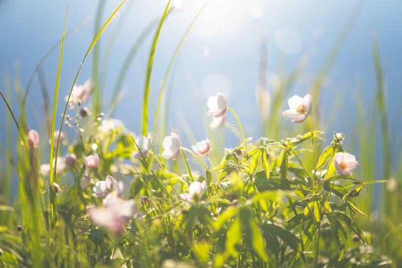 花卉领域 开花在春天或夏季的狂放的北银莲花属花在雅库特,西伯利亚 库存照片