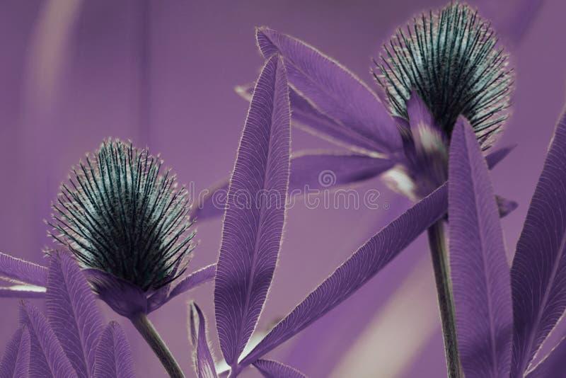 花卉紫罗兰色背景 在bokeh背景的野花蓝色三叶草 特写镜头 软绵绵地集中 库存照片
