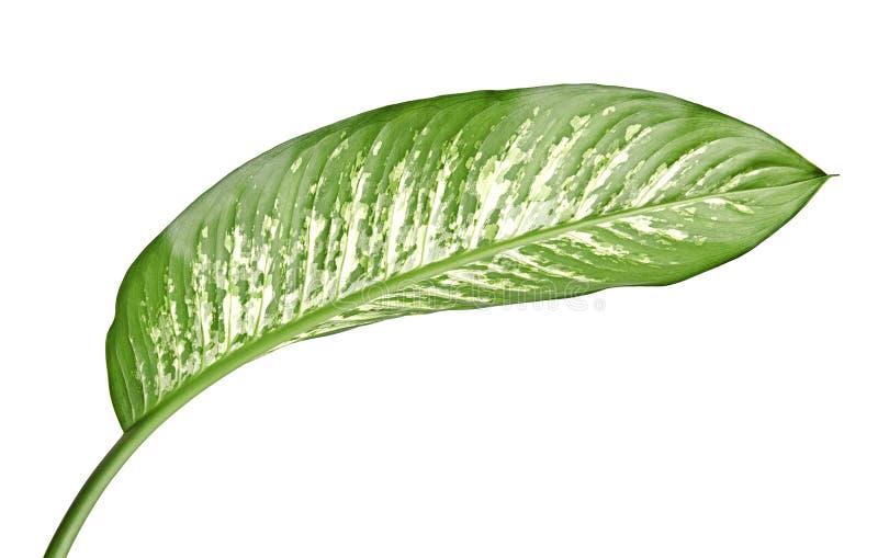 花叶万年青叶子沉默寡言的藤茎、绿色叶子包含白色斑点的和斑点,在白色背景隔绝的热带叶子 免版税库存图片