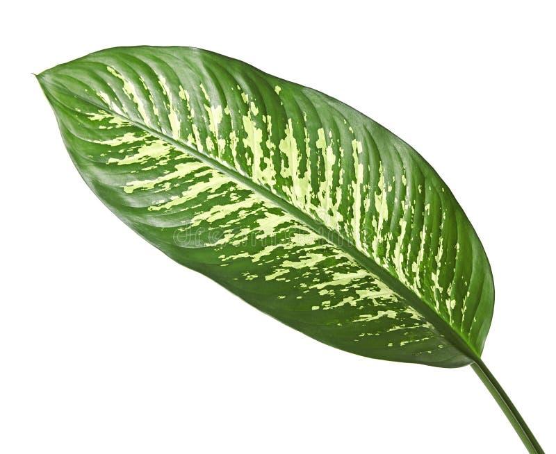 花叶万年青叶子沉默寡言的藤茎、绿色叶子包含白色斑点的和斑点,在白色背景隔绝的热带叶子 免版税库存照片