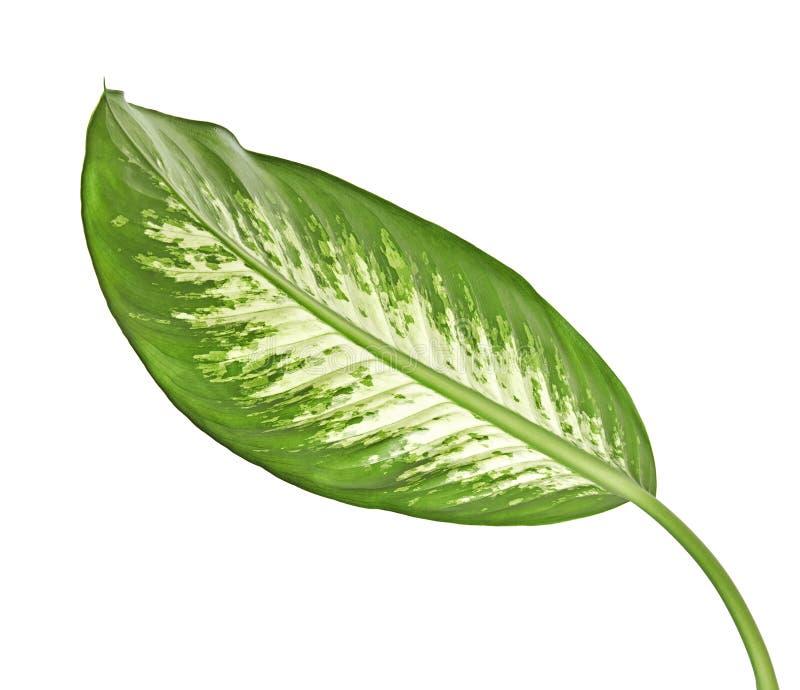 花叶万年青叶子沉默寡言的藤茎、绿色叶子包含白色斑点的和斑点,在白色背景隔绝的热带叶子 库存照片