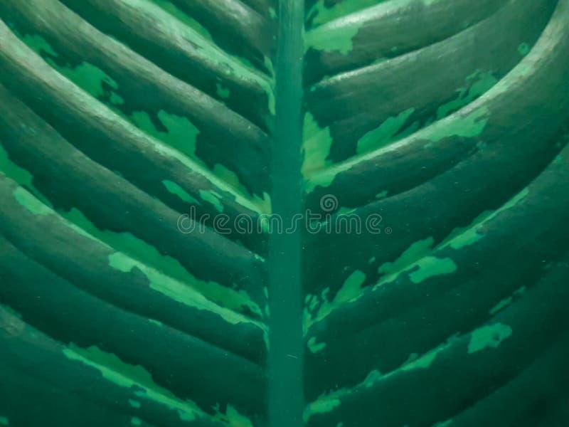 花叶万年青室内植物的绿色叶片和静脉 叶子样式特写镜头视图  免版税图库摄影