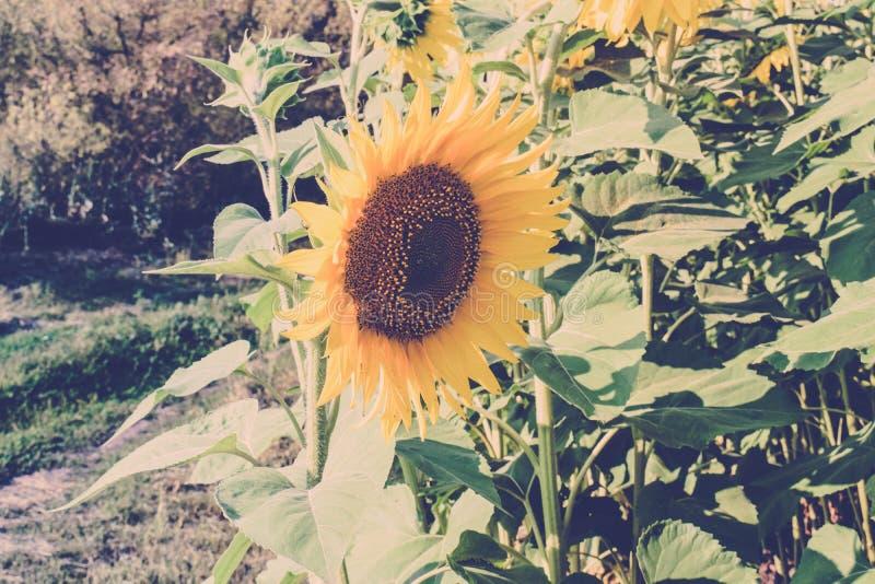 花向日葵 r 向日葵的领域 免版税库存照片