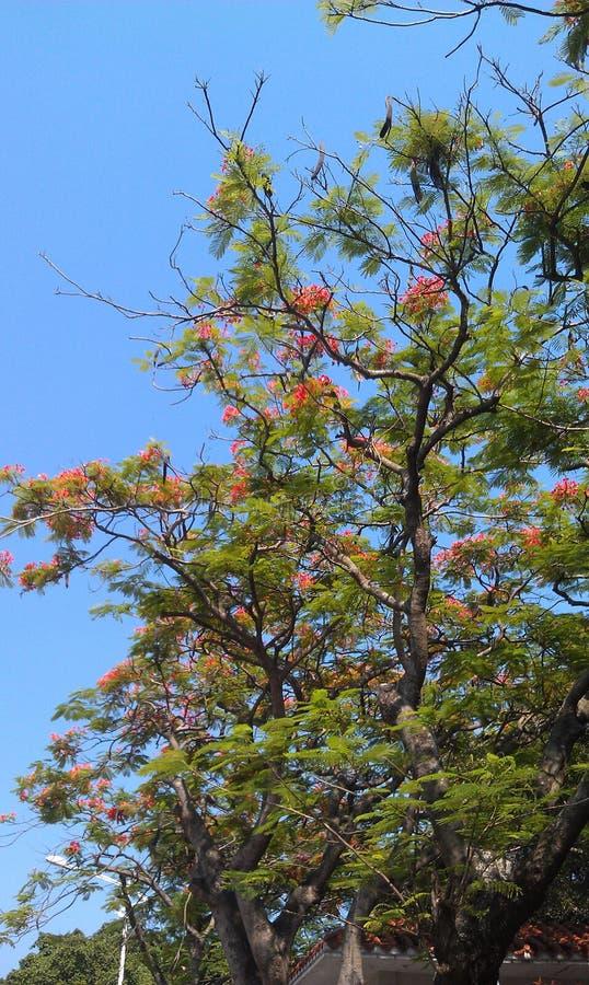 任花和亚洲Globeflower树 图库摄影