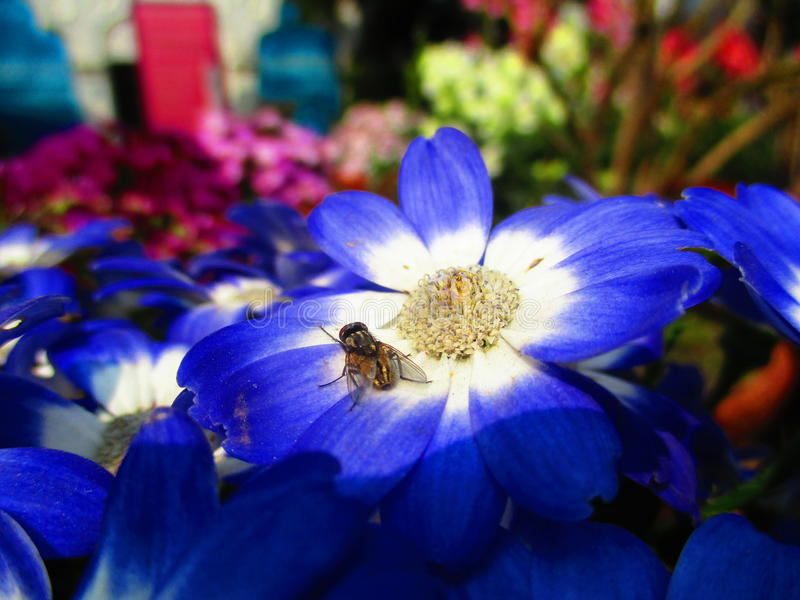 花和家蝇 免版税库存图片