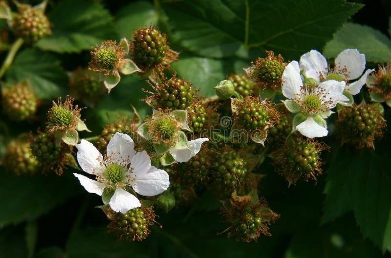 花和浆果 图库摄影