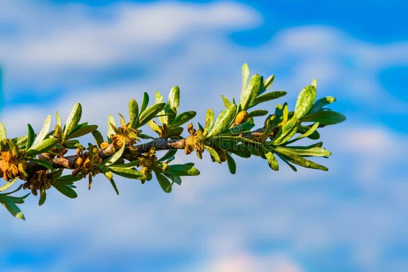 花和第一片小绿色叶子在药用植物海鼠李分支在蓝天背景 图库摄影