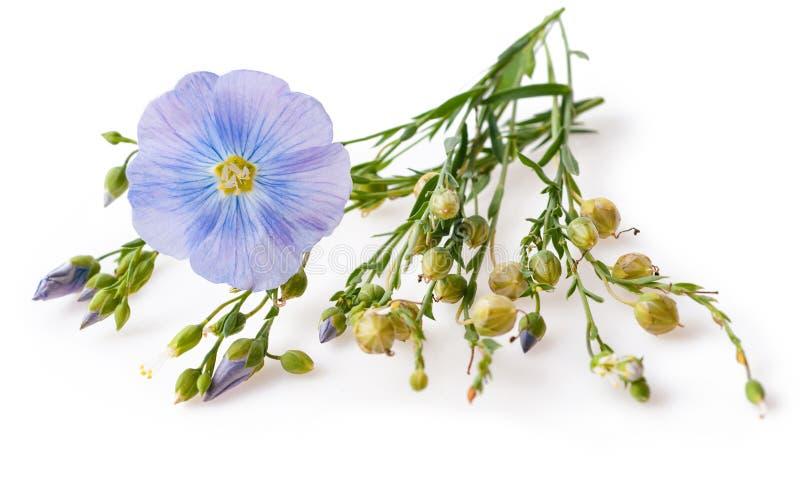 花和胶囊与种子胡麻Linum usitatissimum共同性说出共同的胡麻或油麻在白色背景与空间为 免版税库存照片