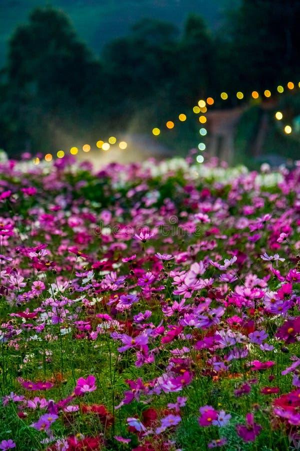 花和草甸星期一果酱小山的,清迈,泰国 库存图片