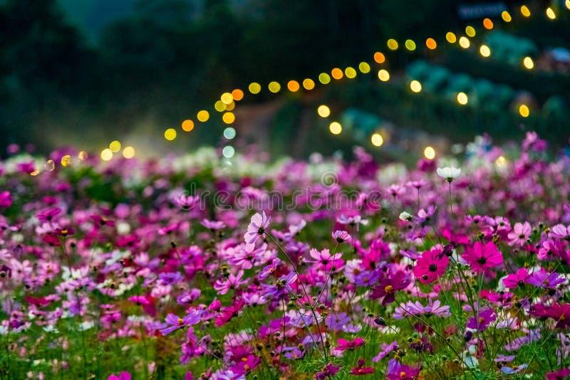 花和草甸星期一果酱小山的,清迈,泰国 免版税图库摄影