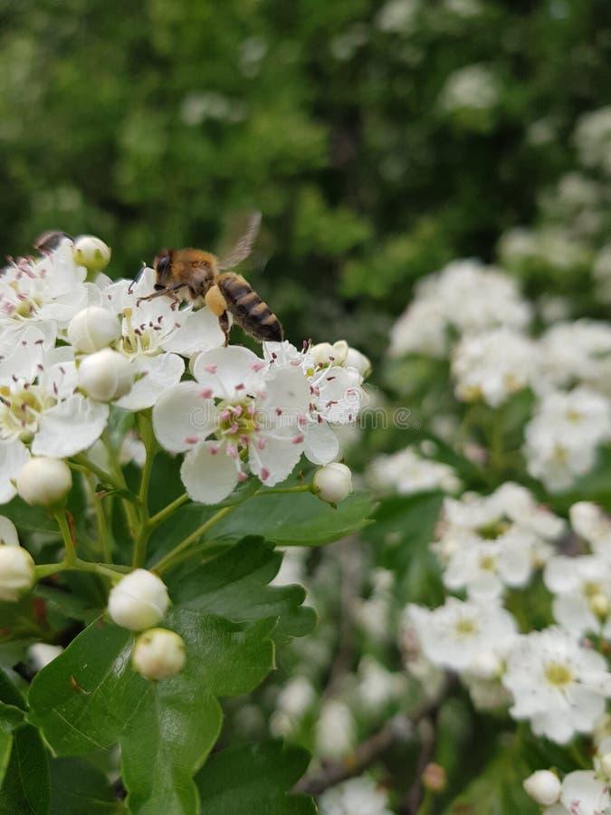花和蜂 蜂从白花收集花粉 免版税库存照片