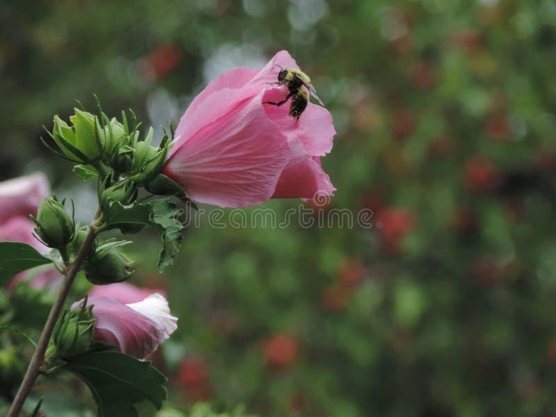 花和蜂 免版税库存照片