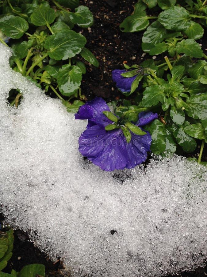 花和雪 库存照片