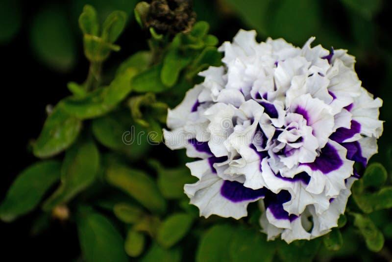 花喇叭花伯根地花特写镜头 紫色花特写镜头 杂种色的紫色的喇叭花 免版税库存图片
