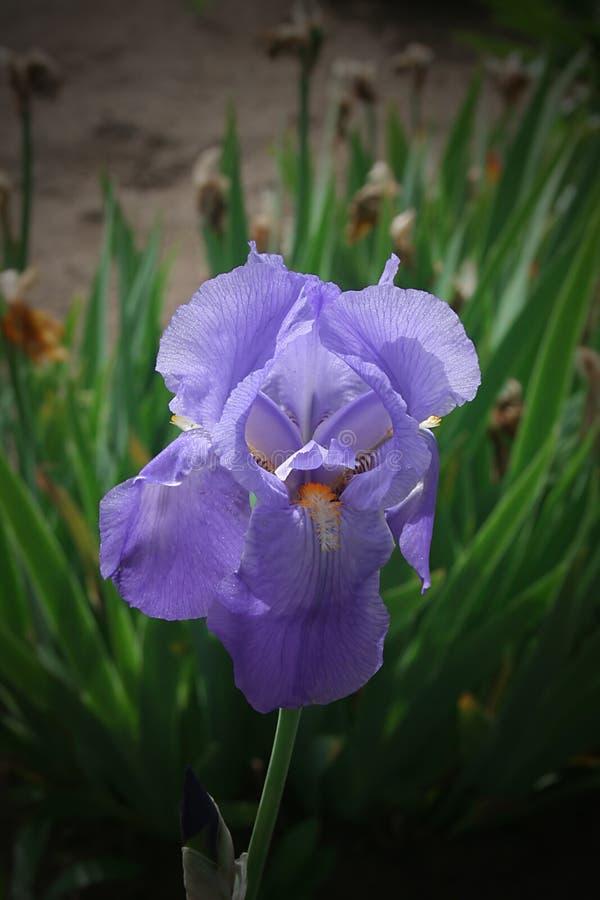 花园中的鸢尾 免版税库存照片
