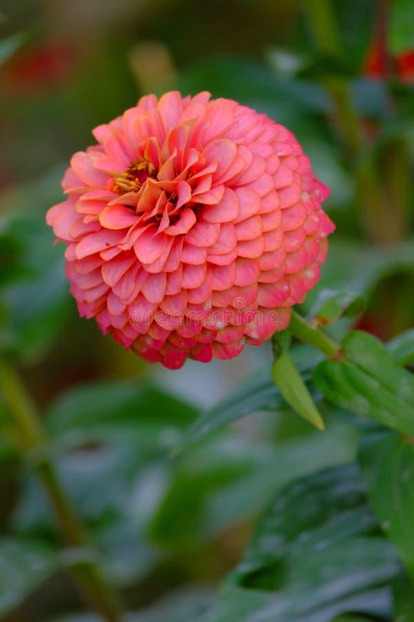 花园中美丽的橙花 图库摄影