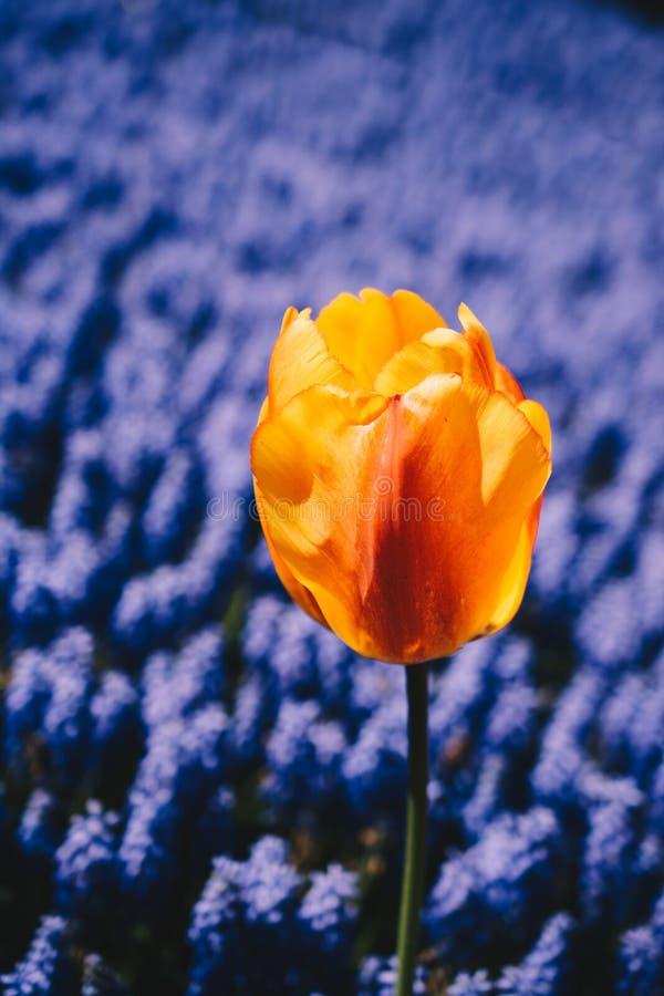花园中鲜艳的郁金香 免版税图库摄影