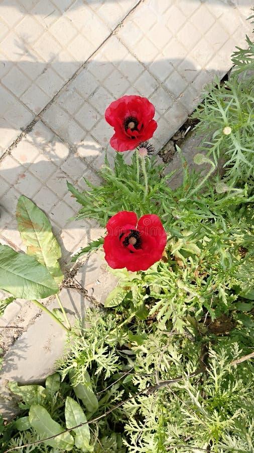 花园红色 图库摄影