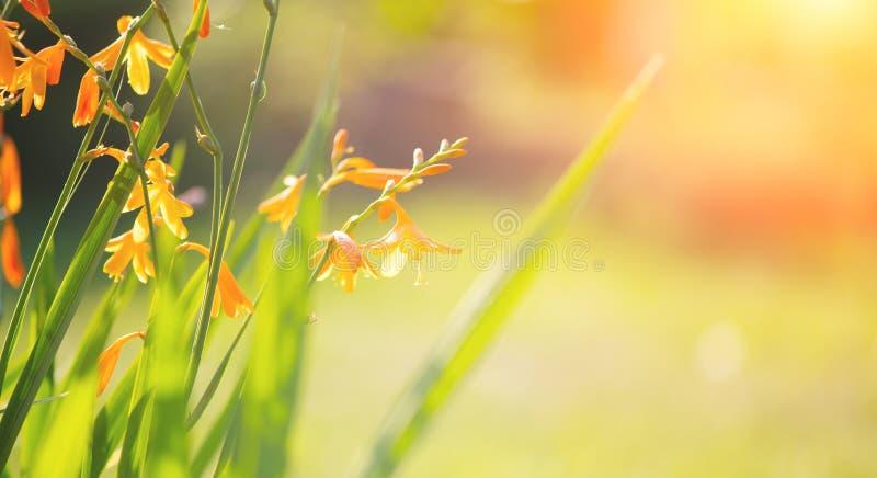 花园近旁开花 黄橙鲜艳小花 免版税库存照片