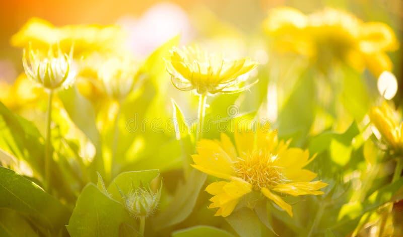 花园近旁的黄菊花 鲜黄橙鲜艳的雏菊 美丽的鲜花 免版税图库摄影