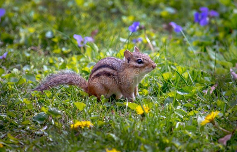 花园里的花栗鼠 图库摄影