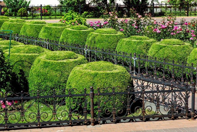 花圃操刀与有玫瑰和黄杨木潜叶虫灌木修剪的花园的铁篱芭 库存图片