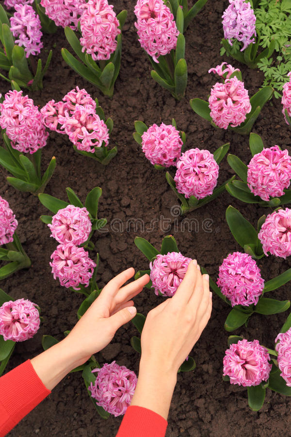 花圃递风信花桃红色感人的womans 免版税库存照片
