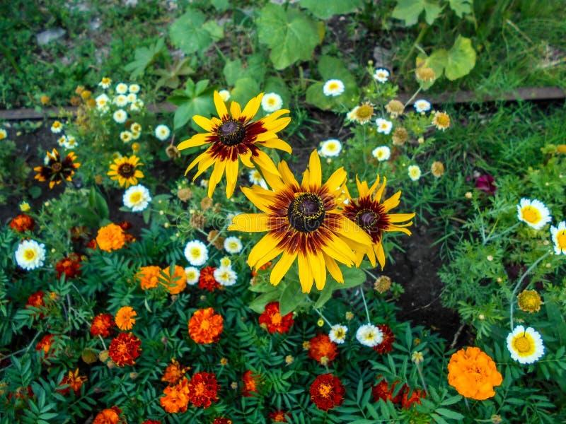 花在庭院里 向日葵装饰物,Tagetes花在庭院里 免版税库存照片