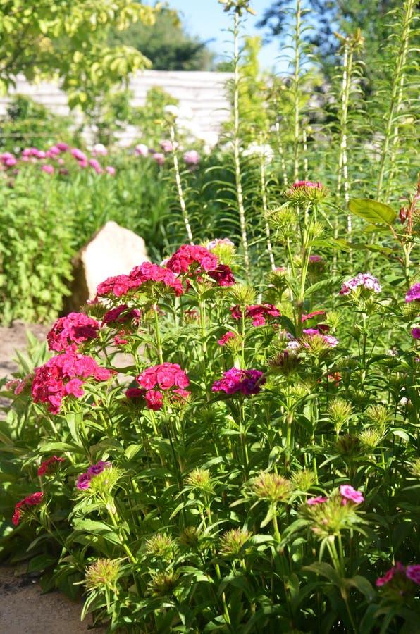 花在庭院里 土耳其康乃馨桃红色花 库存照片