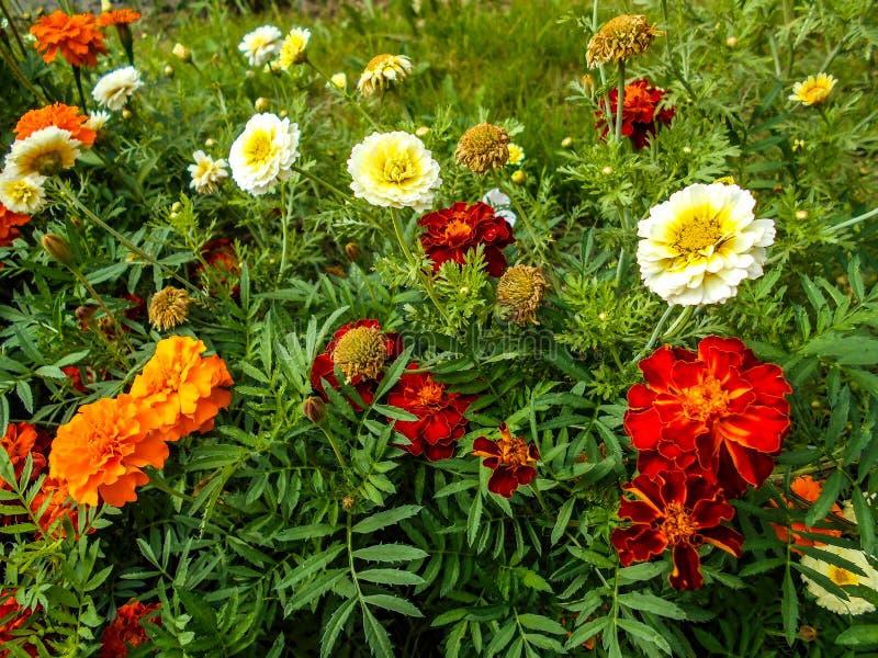 花在庭院里 百日菊属花,百日菊属Elegans,Tagetes花在庭院里 免版税库存照片
