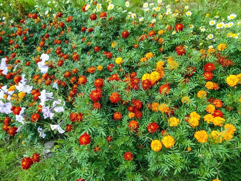 花在庭院里 Tagetes花在庭院里 免版税库存图片