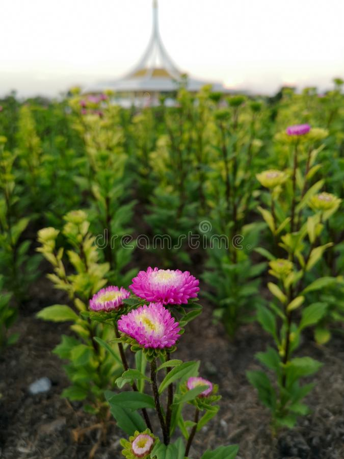 花在庭院Suan Luang拉马里IX在泰国 库存图片